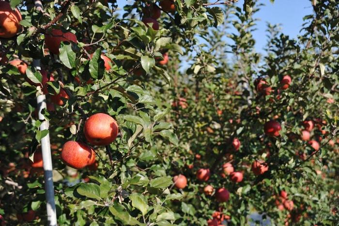 アフィリエイトはりんごの木を育てるようなもの